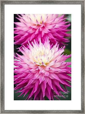 Dahlia Pink Jupiter  Framed Print by Tim Gainey