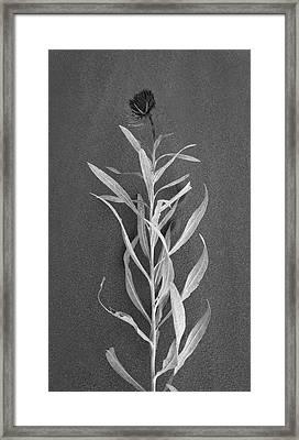 Dahlia Framed Print by Skip Hunt