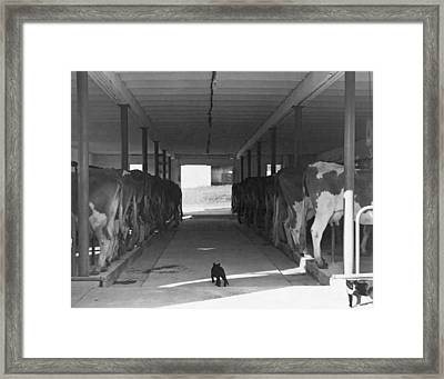 Dairy Farming Barn Scene Framed Print by Underwood Archives