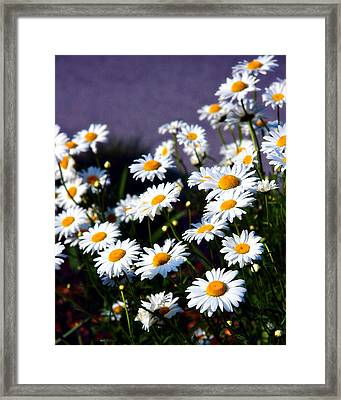 Daisies Framed Print by Lana Trussell
