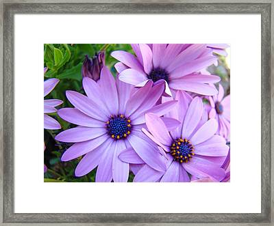 Daisies Lavender Purple Daisy Flowers Baslee Troutman Framed Print by Baslee Troutman