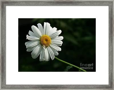 Daisy  Framed Print by Steve Augustin