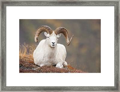 Dall Sheep Ram Framed Print by Tim Grams