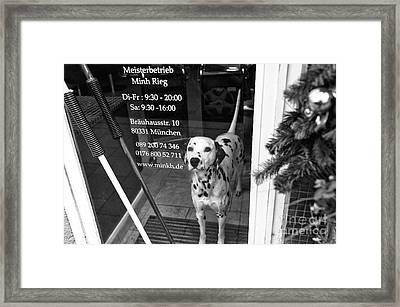 Dalmatian In The Window Framed Print by John Rizzuto