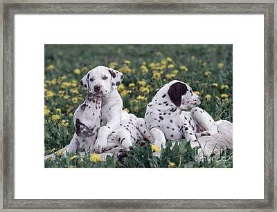 Dalmatian Puppies Playing In Flowers Framed Print by Alan Carey