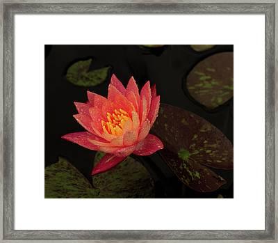 Damp Waterlily Framed Print by Jean Noren