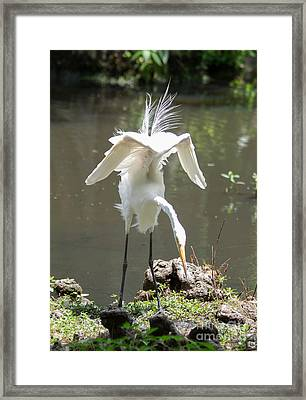 Dance Moves-white Heron Framed Print by Alicia Collins