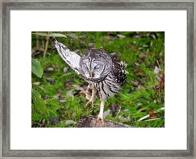 Dancing Owl Framed Print by David Lee Thompson