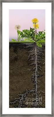 Dandelion Blowball Clock Taraxacum Officinale - Root System - Pi Framed Print by Urft Valley Art