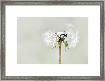 Dandelion Framed Print by Cindy Grundsten