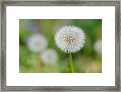 Dandelion In Waiting Framed Print by Sandy Potere