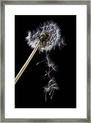 Dandelion Loosing Seeds Framed Print by Garry Gay