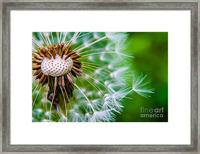 Dandelion Poof Soft  Framed Print by Angelle Holmes