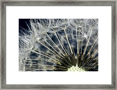 Dandelion Seed Head Framed Print by Ryan Kelly