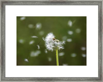 Dandelion Framed Print by Steven  Michael