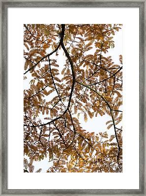 Dawn Redwood Autumn Foliage Framed Print by Tim Gainey