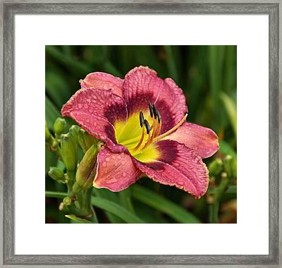 Daylily Framed Print by Sandy Keeton