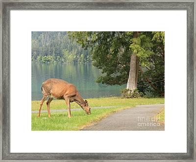 Deer By Crescent Lake Framed Print by Carol Groenen