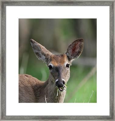 Deer Eating Breakfast Framed Print by Dan Sproul