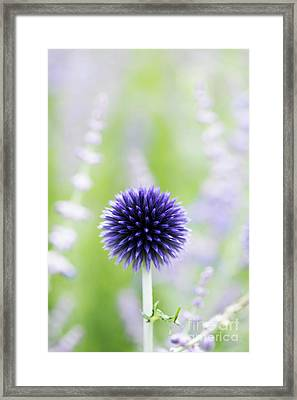 Delicate Globe Thistle  Framed Print by Tim Gainey