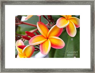 Delicate Plumeria Framed Print by Brian Governale