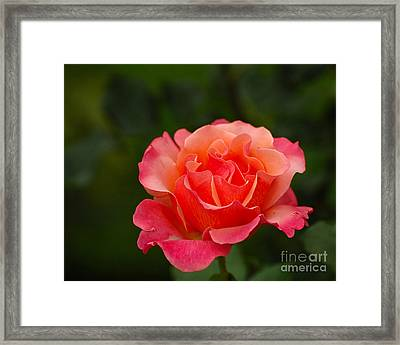 Delicate Rose Framed Print by Edward Sobuta