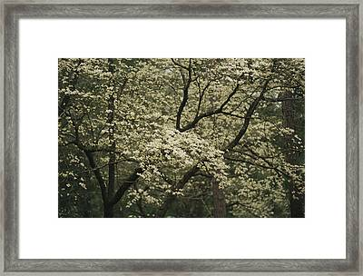 Delicate White Dogwood Blossoms Cover Framed Print by Raymond Gehman