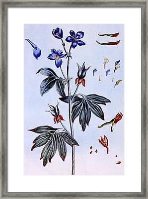 Delphinium Framed Print by Pierre-Joseph Buchoz