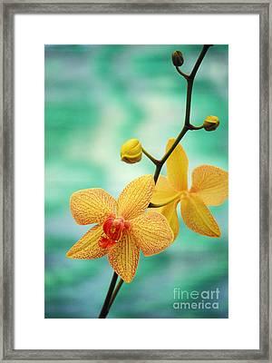 Dendrobium Framed Print by Allan Seiden - Printscapes