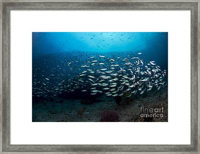 Dense School Of Silver And Blue Framed Print by Mathieu Meur