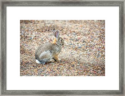 Desert Cottontail Framed Print by Todd Klassy