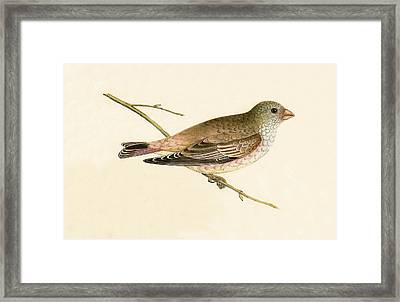 Desert Trumpeter Bullfinch Framed Print by English School