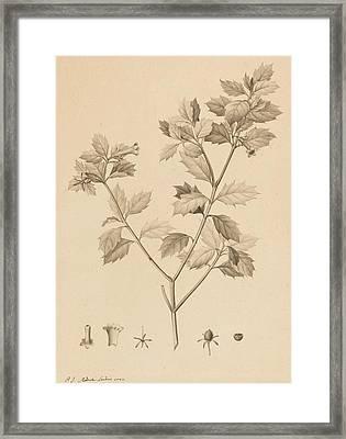 Desfonainia Spinosa Framed Print by Pierre Joseph Redoute