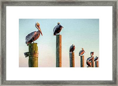 Destin Pelicans-the Peanut Gallery Framed Print by JC Findley
