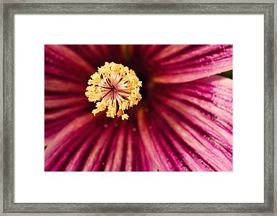 Detail Of Tree Mallow Pistil-stamen Framed Print by Panoramic Images