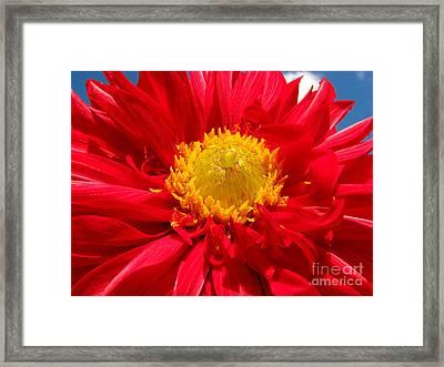 Dhalia Framed Print by Amanda Barcon