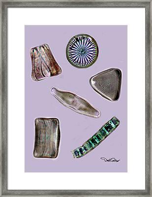 Diatoms Framed Print by David Salter