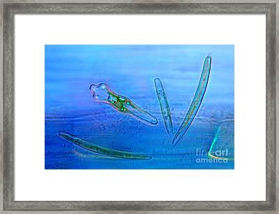 Diatoms, Polarized Lm Framed Print by Marek Mis