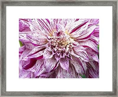 Dinner Plate Dahlia  Framed Print by Sharon Duguay
