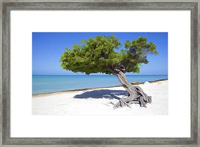 Divi Tree Of Aruba Framed Print by David Letts