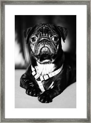 Dog Framed Print by Falko Follert