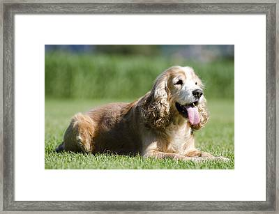Dog Lying Down On The Green Grass Framed Print by Mats Silvan