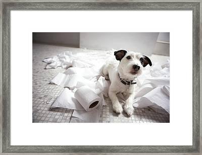 Dog Lying On Bathroom Floor Amongst Shredded Lavatory Paper Framed Print by Chris Amaral