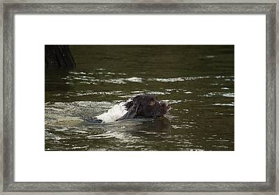 Dog Swimmer Framed Print by Adrian Wale