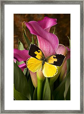 Dogface Butterfly On Pink Calla Lily  Framed Print by Garry Gay