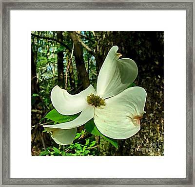 Dogwood Blossom II Framed Print by Julie Dant