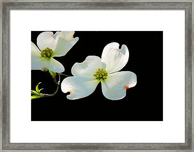 Dogwood Blossoms Framed Print by Kristin Elmquist