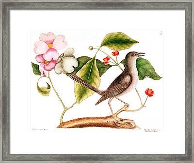 Dogwood  Cornus Florida, And Mocking Bird  Framed Print by Mark Catesby