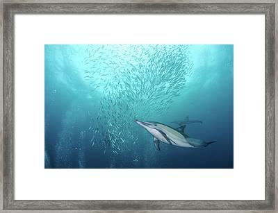 Dolphin Framed Print by Alexander Safonov