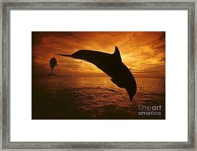 Dolphins And Sunset Framed Print by Dave Fleetham - Printscapes
